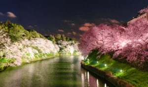 Fioritura ciliegi Giappone 8