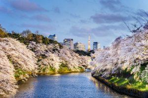 Fioritura ciliegi Giappone 9