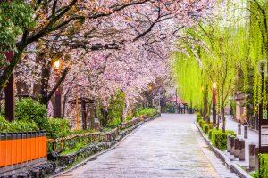 Fioritura ciliegi Giappone 10