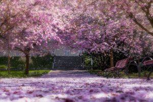 Fioritura ciliegi Giappone 11