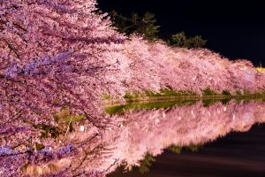 Fioritura ciliegi Giappone 12