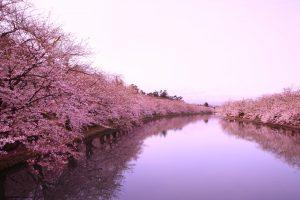 Fioritura ciliegi Giappone 13
