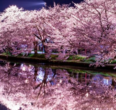sakura-La-fioritura-dei-ciliegi-in-Giappone
