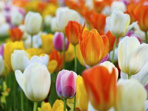 Tulipano san valentino