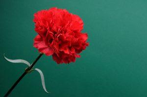 Garofano rosso san valentino