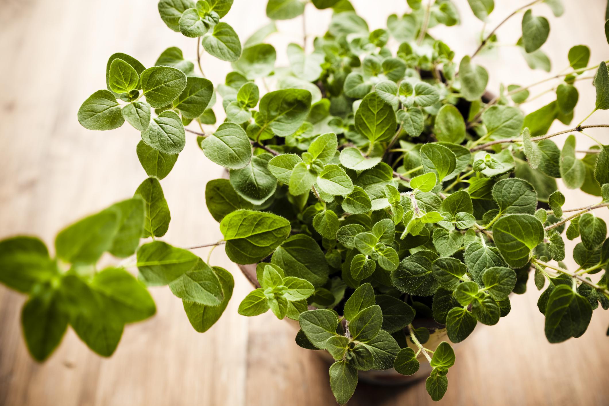 Coltivazione origano pianta aromatica balcone