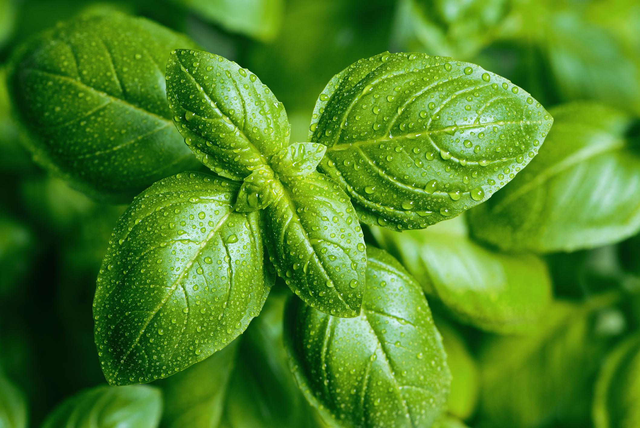 Coltivazione basilico erba aromatica terrazzo