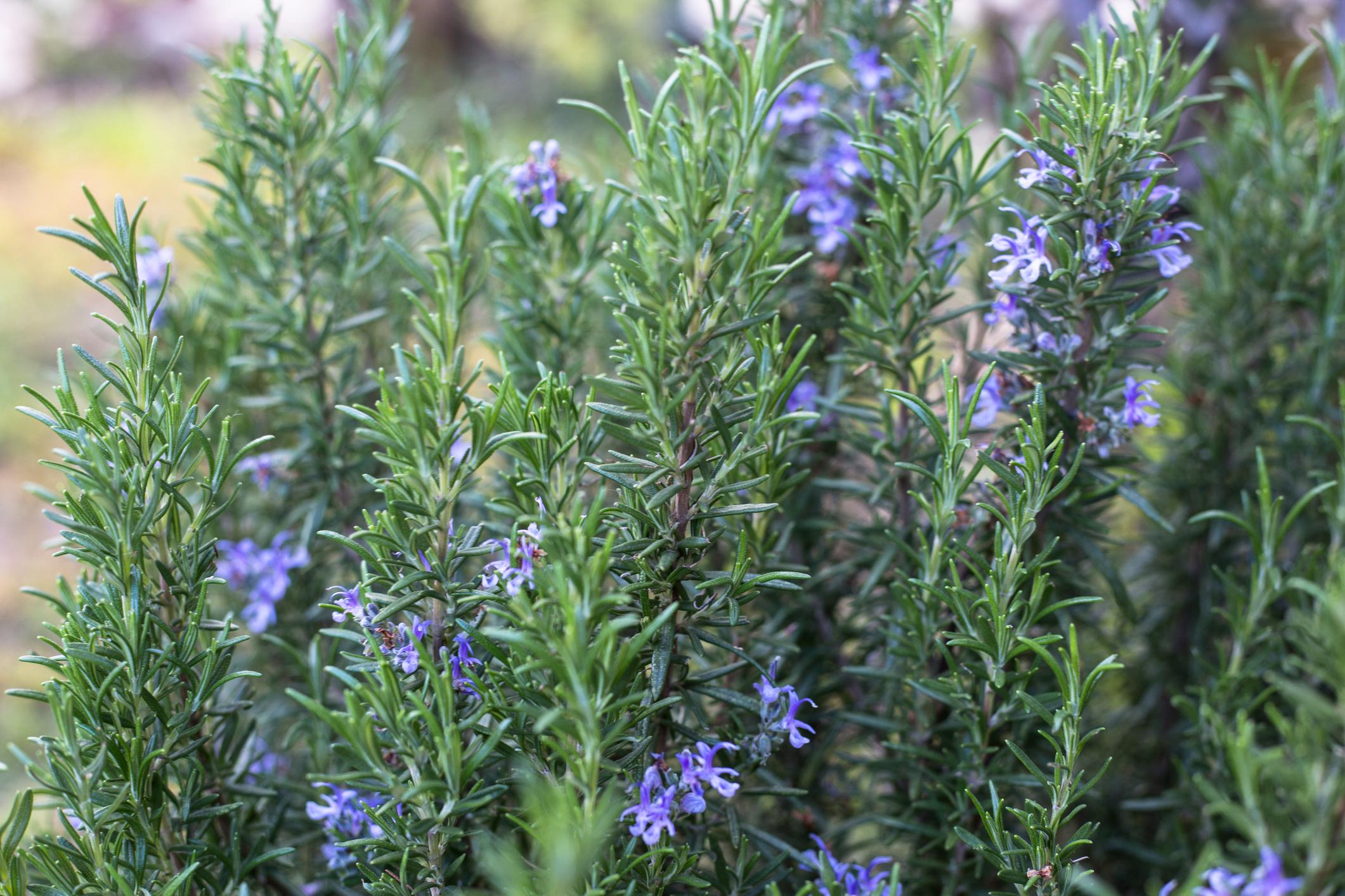 Coltivazione rosmarino pianta aromatica terrazzo
