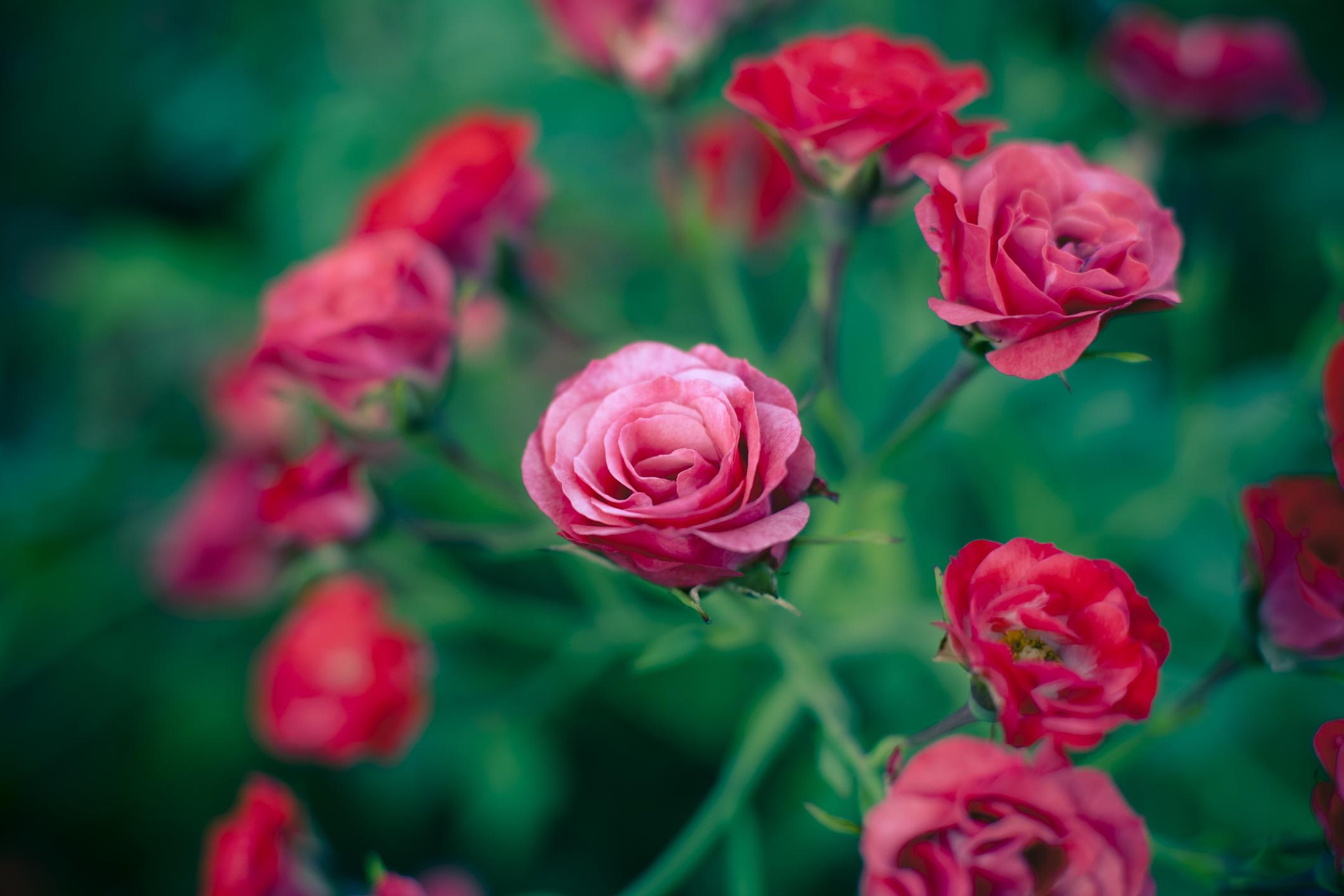 Quando coltivare le rose