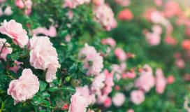 Come curare coltivare potare le rose