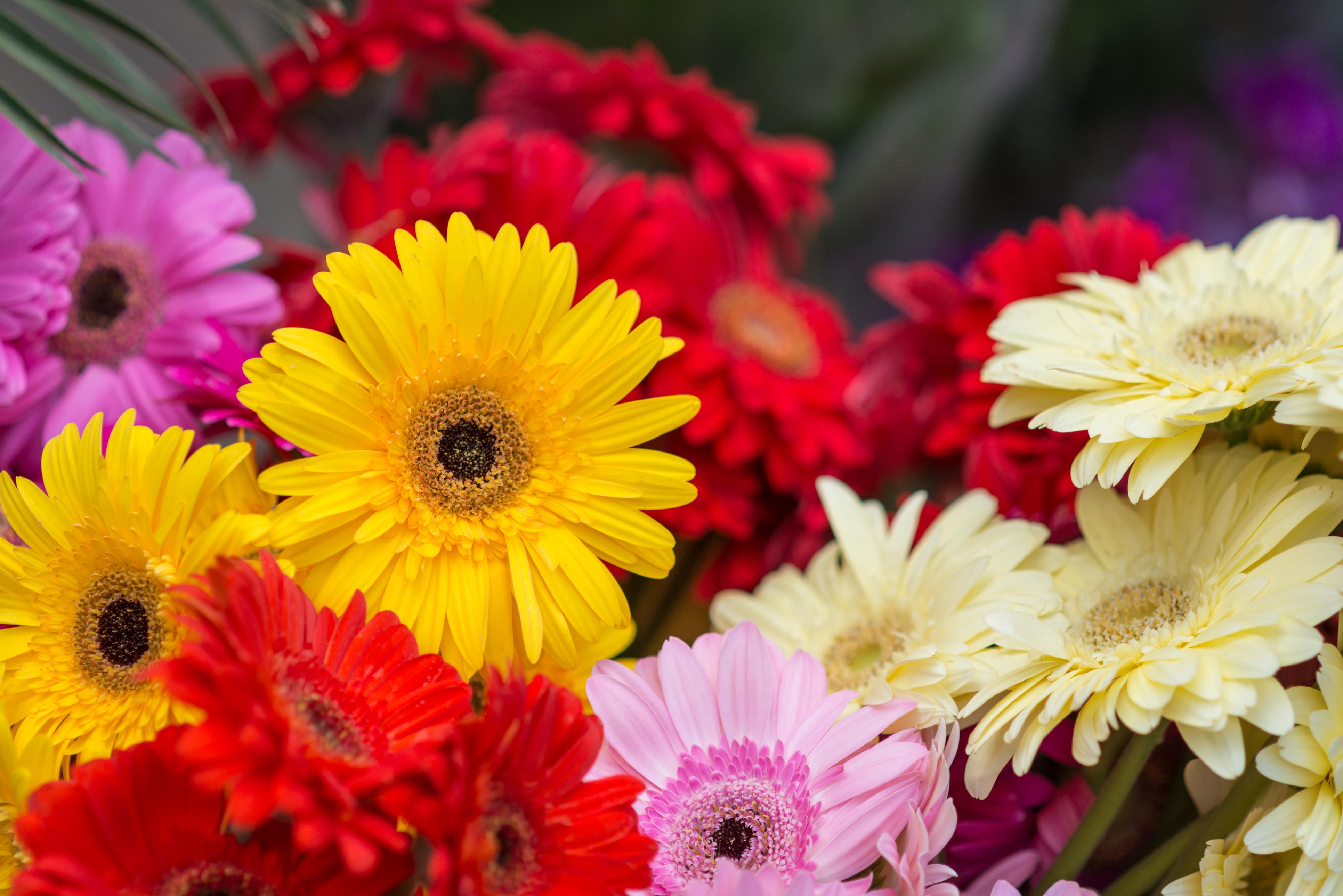 fiori di luglio gerbera