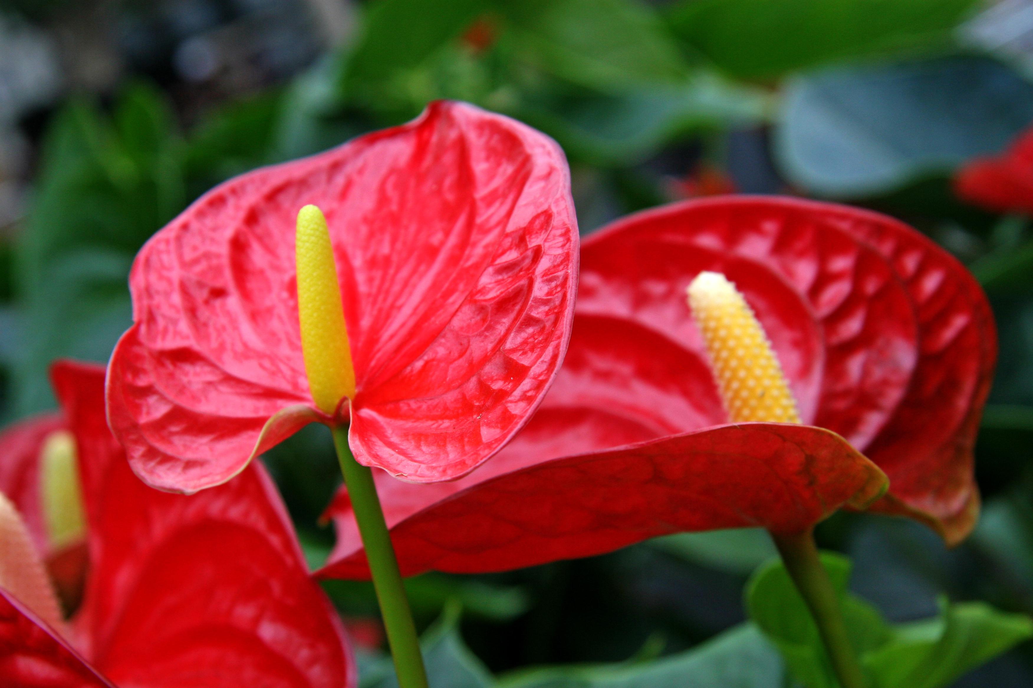 fiori di luglio anturio