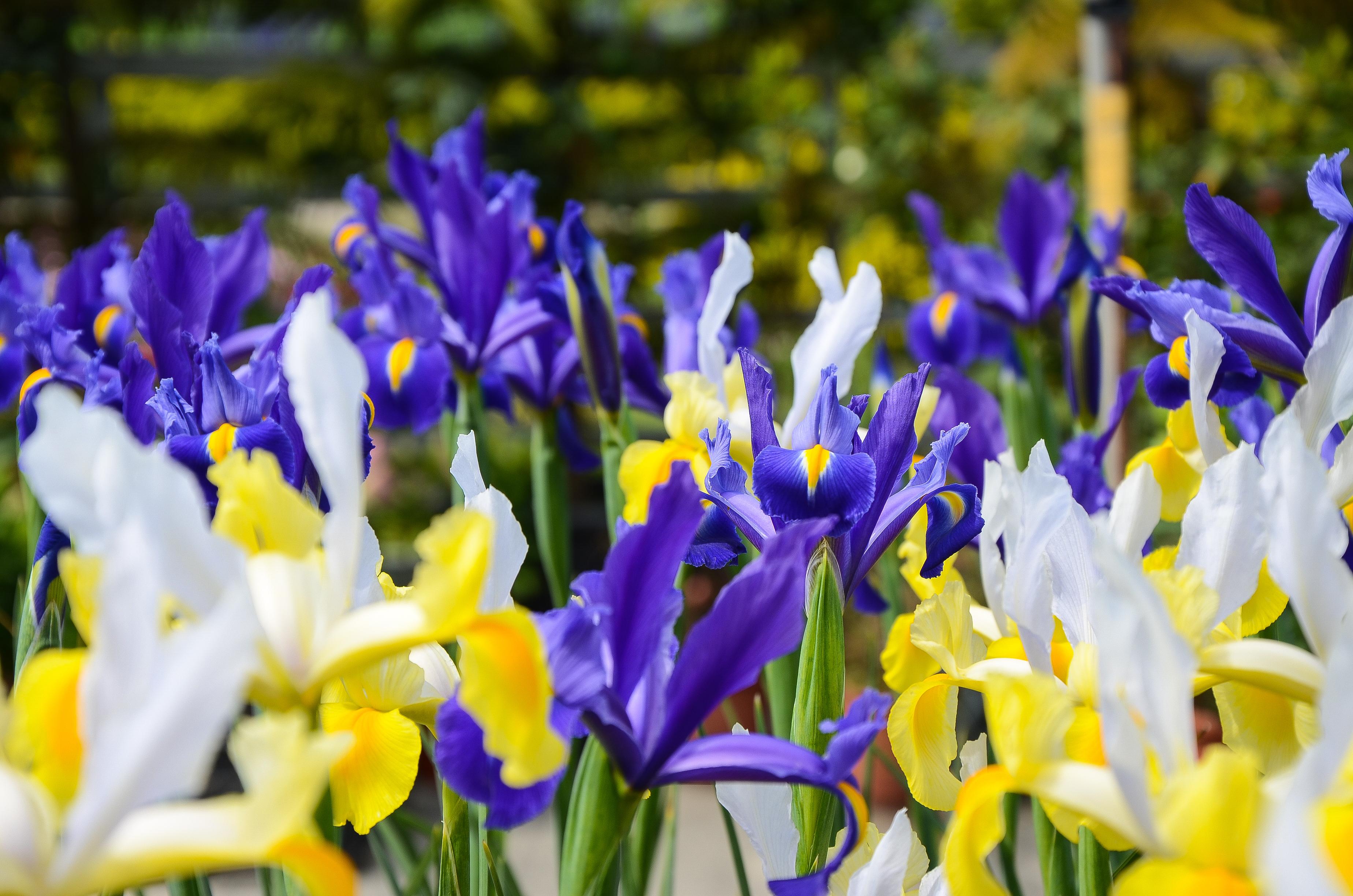 fiori settembre iris