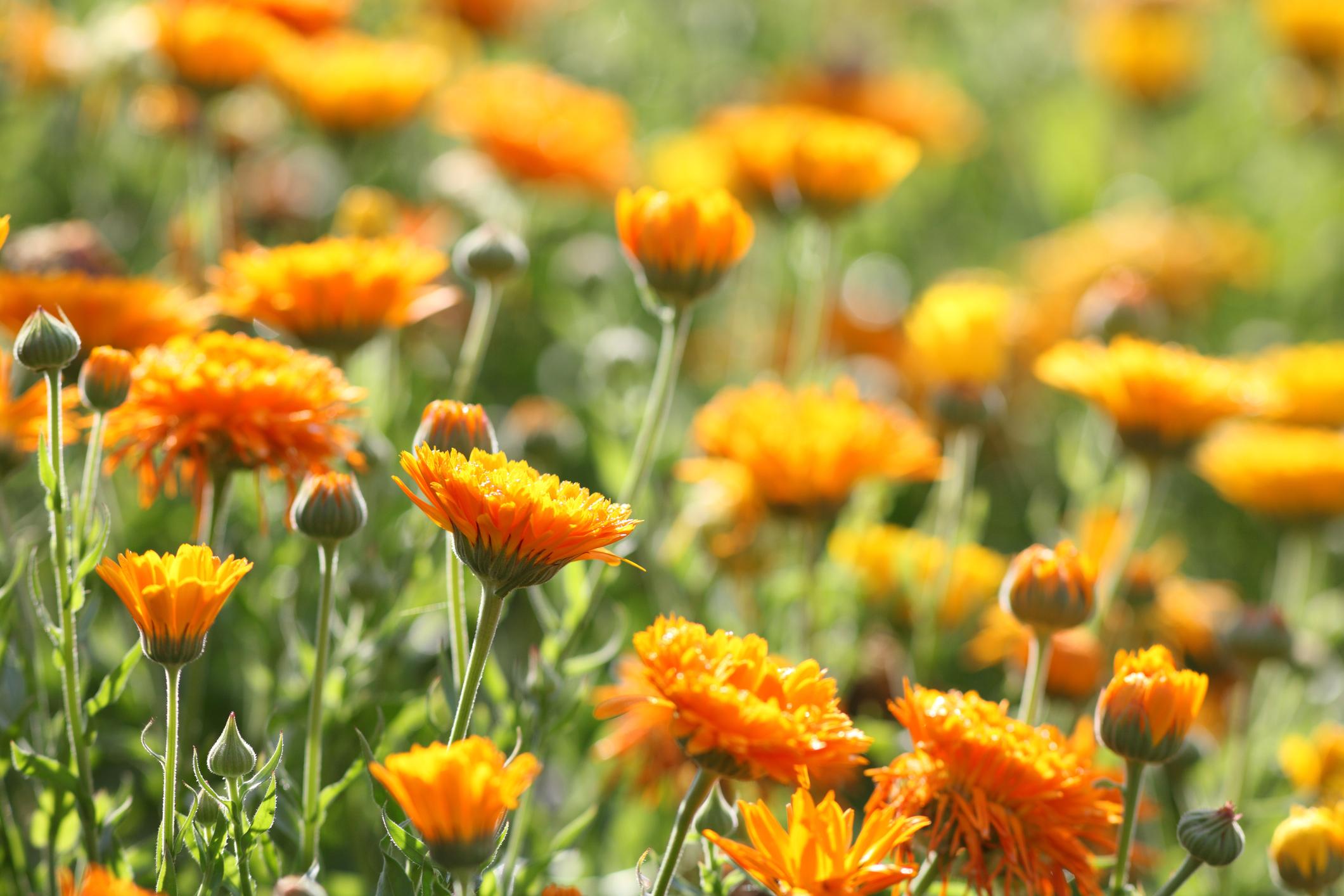 Fiori piantare a settembre calendula