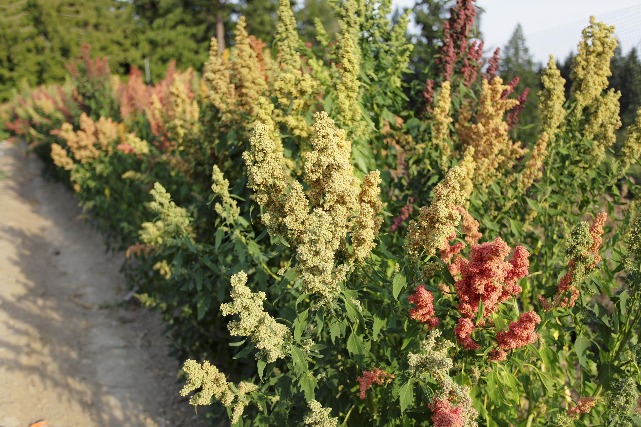 Coltivazione Amaranto semi