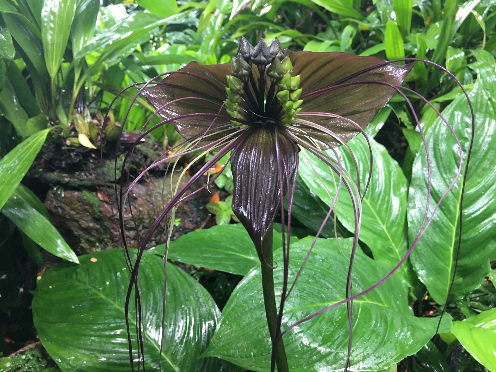 Tacca chantrieri, fiore black bat flower