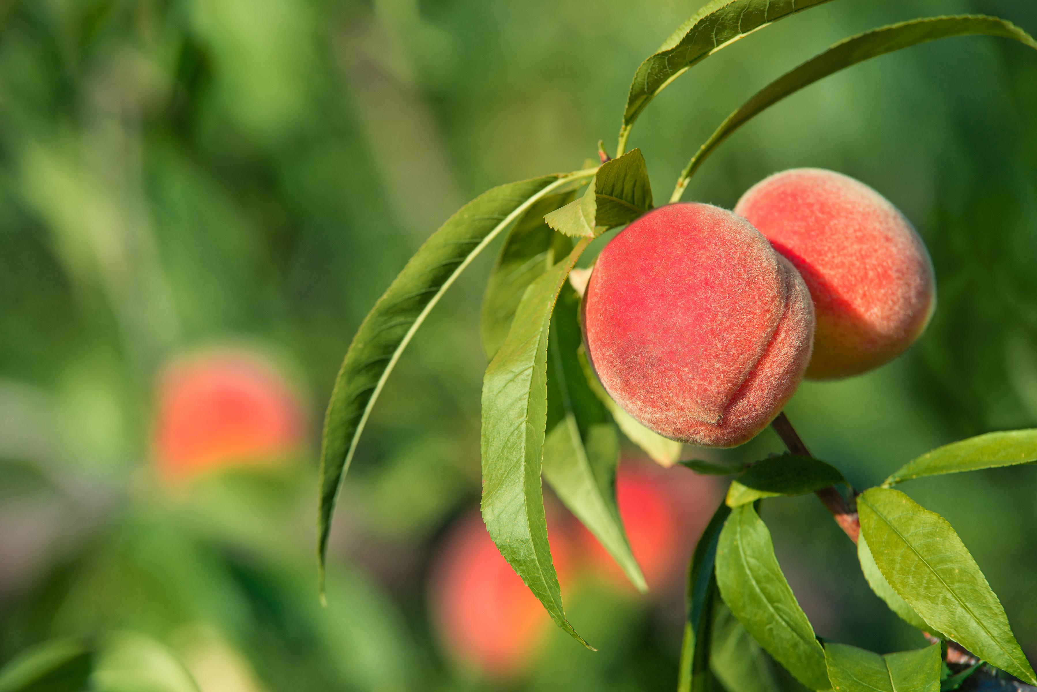 Piante Da Frutto Nane piante da frutto nane. pesco – fito