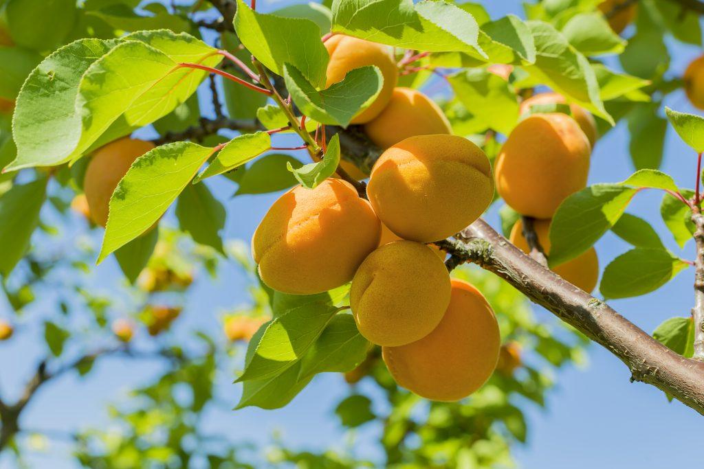 Piante da frutto nane. Albicocco