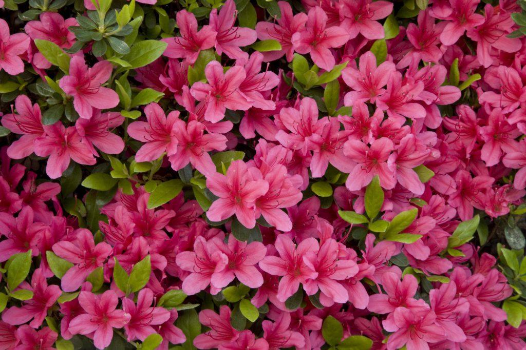 Azalea fiore velenoso