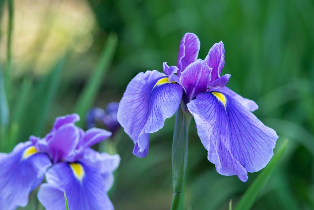 iris fiore velenoso