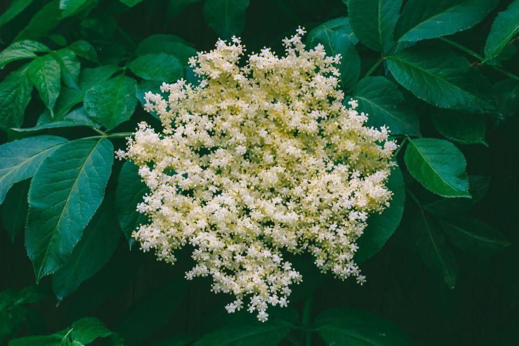 Sambuco fiore invernale