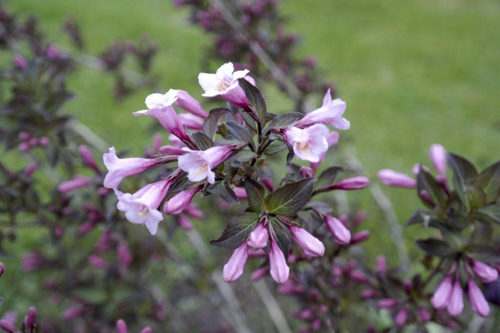Abelia fiore invernale