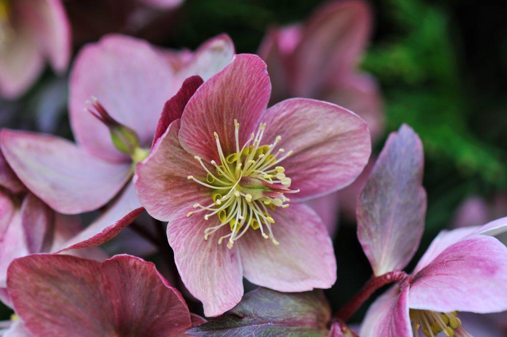 Elleboro fiore invernale
