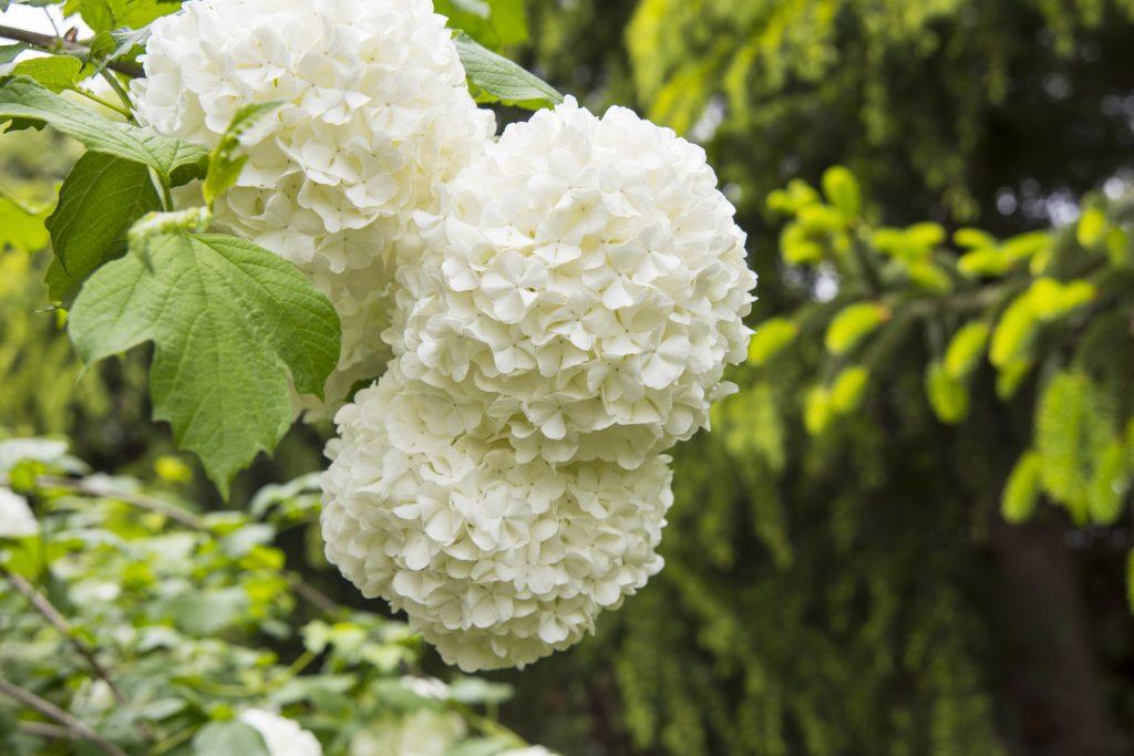 Viburno fiore invernale