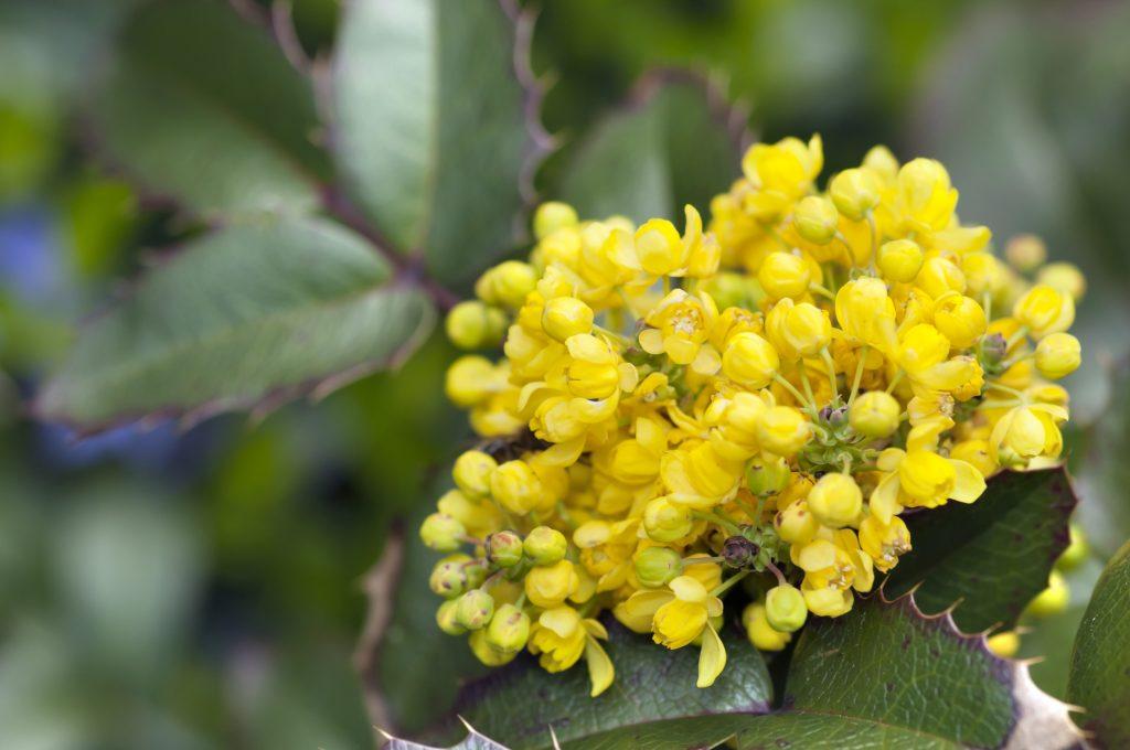 Mahonia fiore invernale