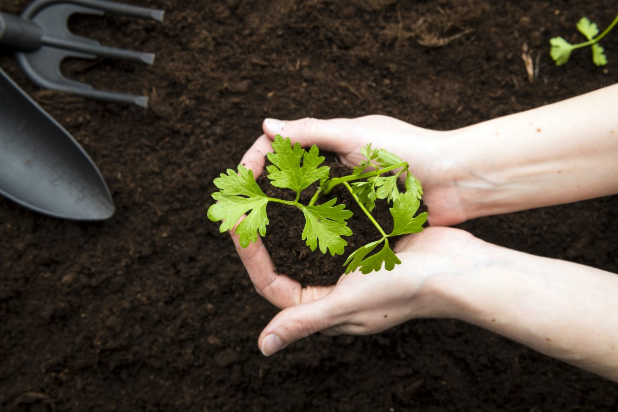 Cosa Seminare A Gennaio come coltivare il sedano? | fito