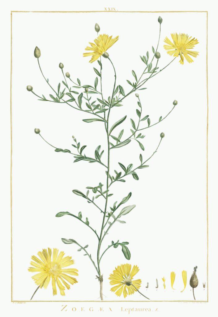 12 FEB 2020_ le illustrazioni botaniche di Redouté (1)