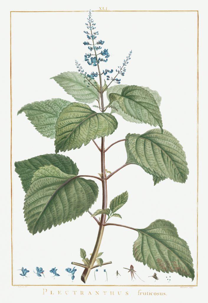12 FEB 2020_ le illustrazioni botaniche di Redouté (10)