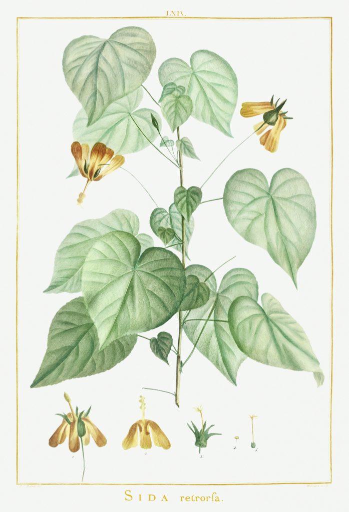 12 FEB 2020_ le illustrazioni botaniche di Redouté (11)