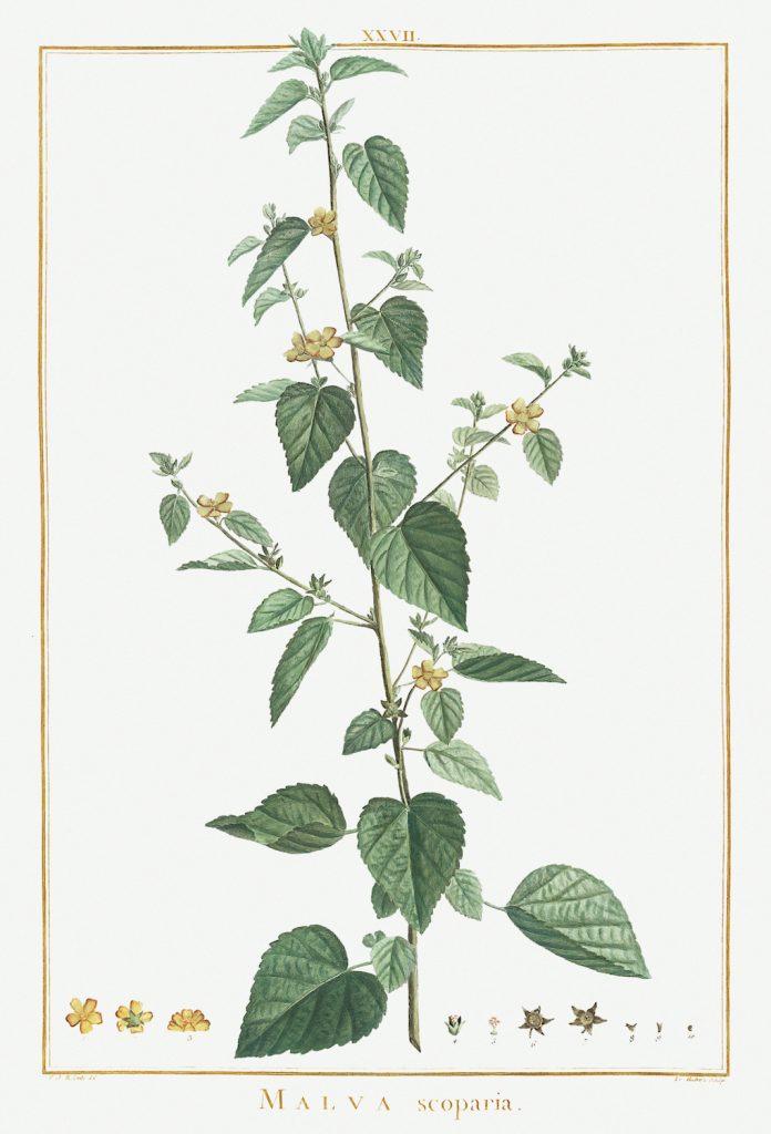12 FEB 2020_ le illustrazioni botaniche di Redouté (12)