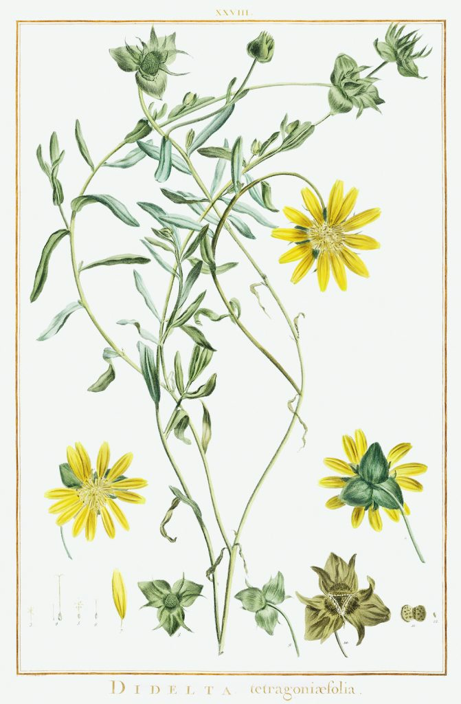 12 FEB 2020_ le illustrazioni botaniche di Redouté (2)