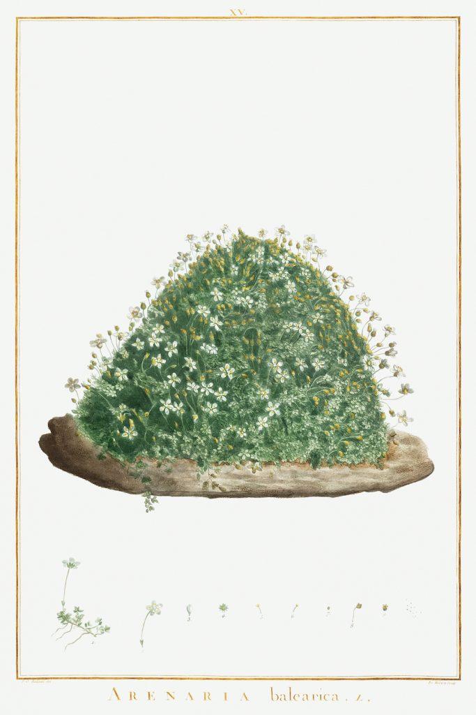 12 FEB 2020_ le illustrazioni botaniche di Redouté (3)