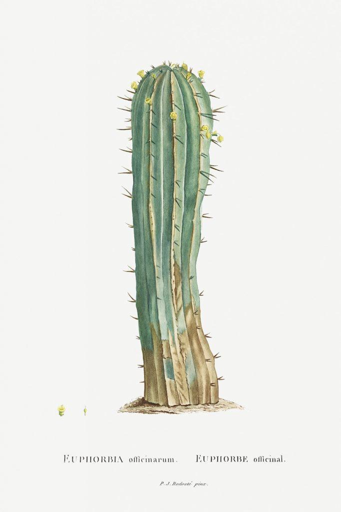 12 FEB 2020_ le illustrazioni botaniche di Redouté (4)