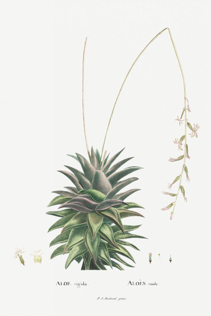 12 FEB 2020_ le illustrazioni botaniche di Redouté (5)