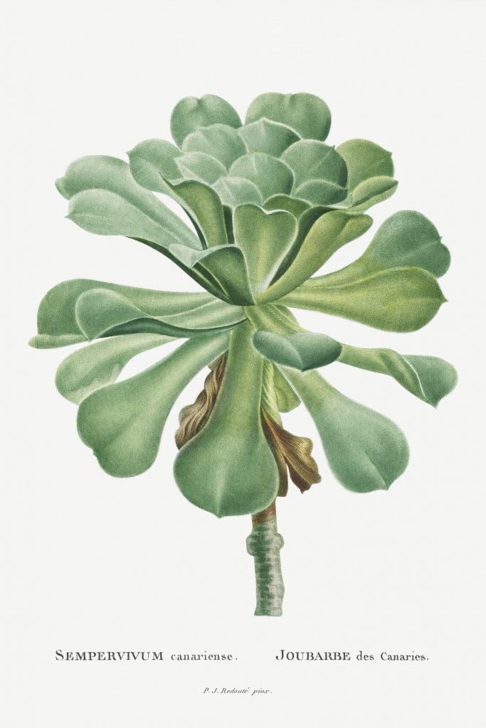 12 FEB 2020_ le illustrazioni botaniche di Redouté (6)