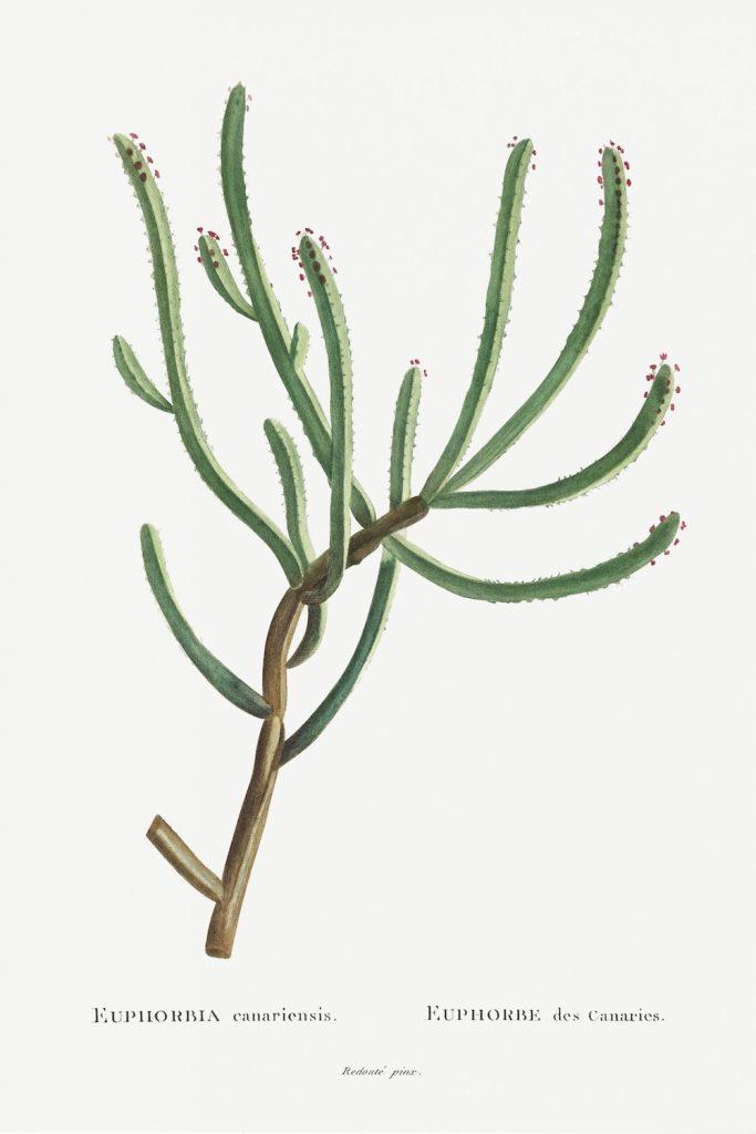 12 FEB 2020_ le illustrazioni botaniche di Redouté (7)