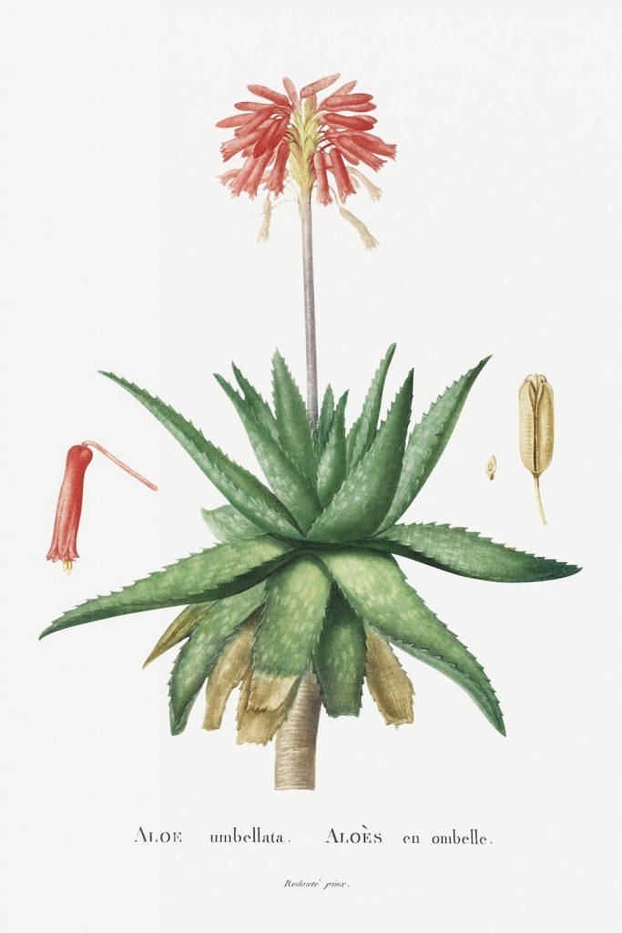 12 FEB 2020_ le illustrazioni botaniche di Redouté (8)