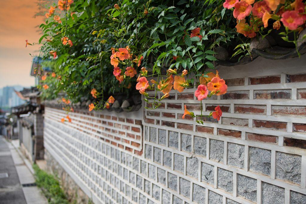bignonia fiori rampicanti arancio
