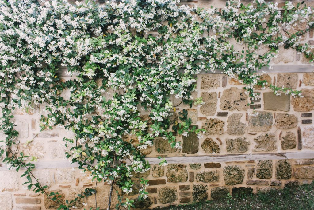 Gelsomino pianta rampicante fiori