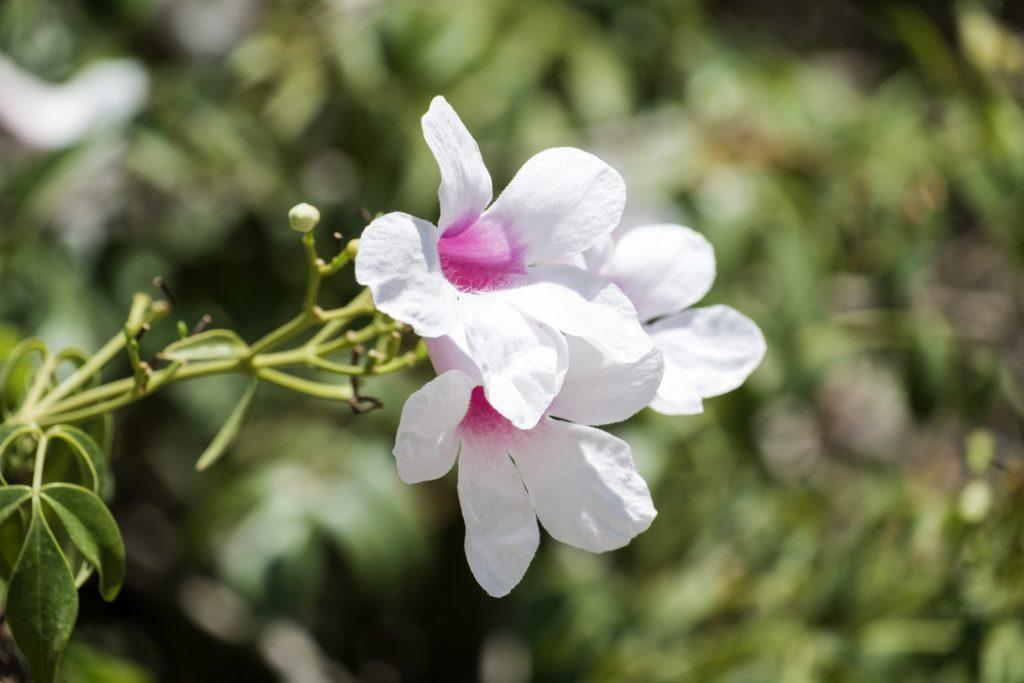 Pandorea pianta rampicante