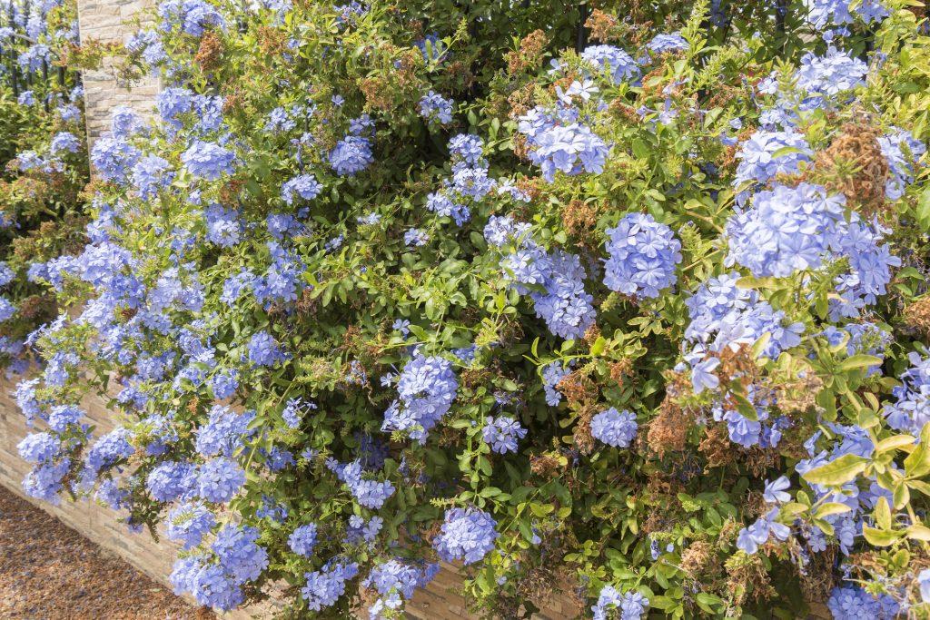 Plumbago pianta rampicante con i fiori