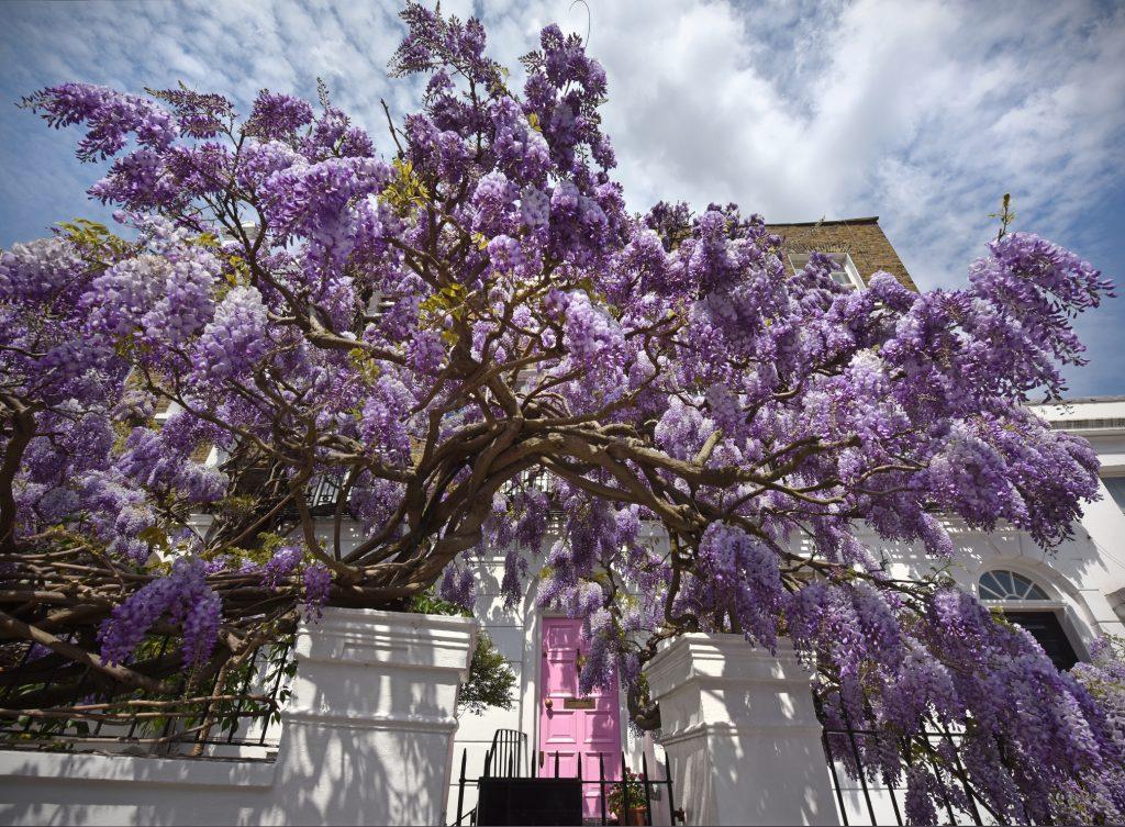 Glicine Wisteria pianta rampicante con fiori