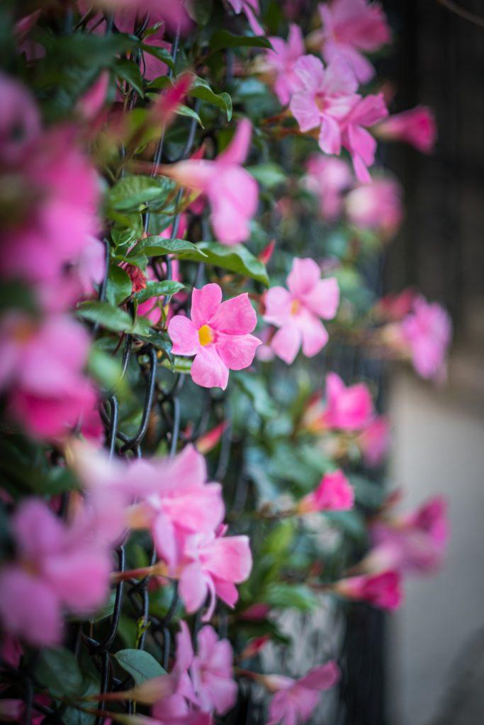 Mandevilla pianta con fiori rampicante