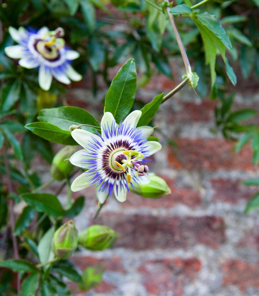 passiflora è pianta rampicante fiorita