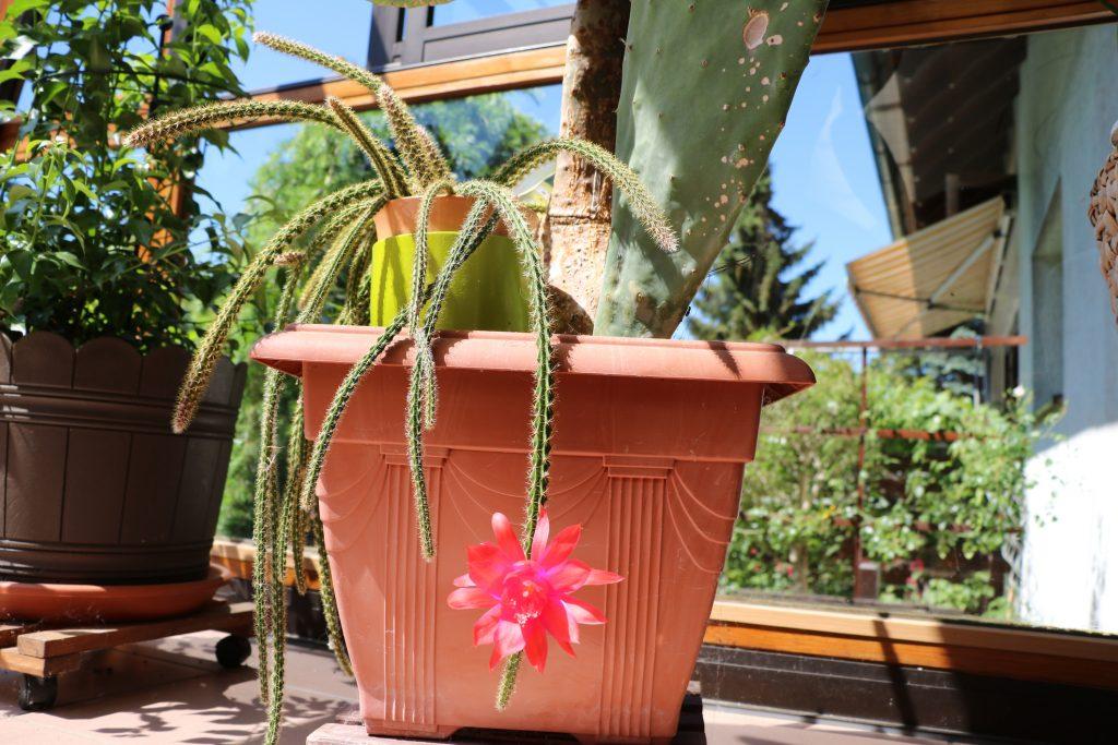 Aporocactus O CODA DI TOPO