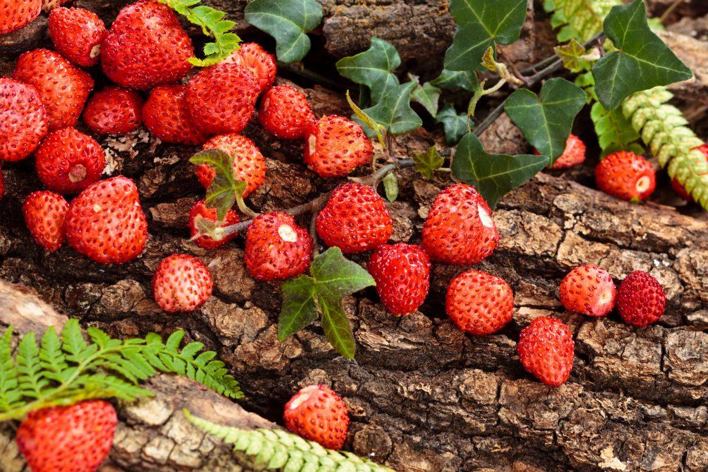 come coltivare le fragole rampicanti